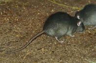 Rat, black.jpg