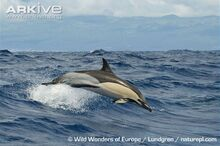 Short-beaked-common-dolphin.jpg