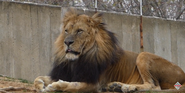 Smithsonian Zoo Lion