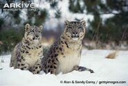 Snow Leopard and Leopardess