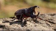 TLK 2019 Rhinoceros Beetle