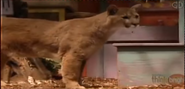 Zoboomafoo Cougar