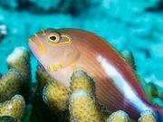 Arc-eye hawkfish (Paracirrhites arcatus) (42703345414).jpg