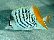 Atollbutterflyfish1.jpg