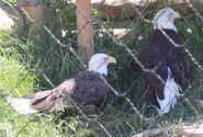 Bald eagle utah's hogle zoo