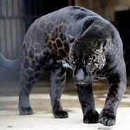 Black Jaguar (Animals)