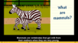 Brainpop Jr Zebras