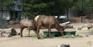 Canberra Zoo Elk