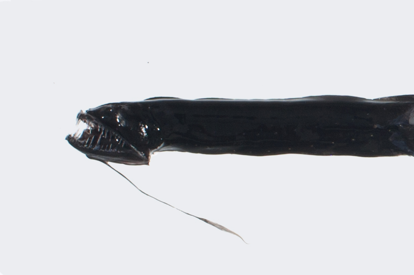 Barbeled Dragonfish