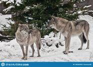 Male and Female Eurasian Wolves