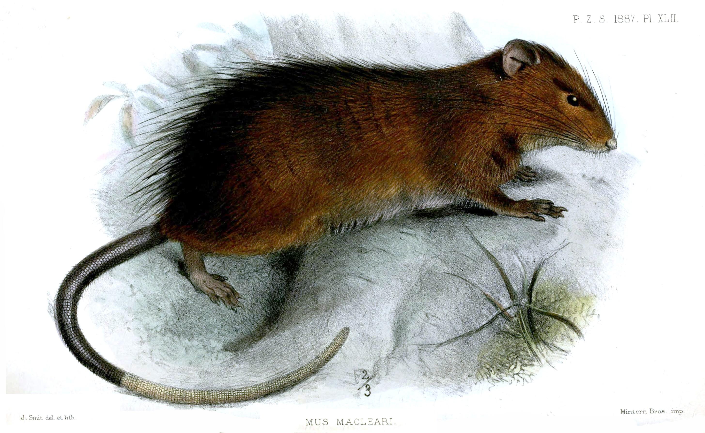 Maclear's Rat