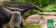 Naples Zoo Anteater
