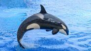 Orca (Orcinus orca)