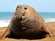 Seal, Southern Elephant