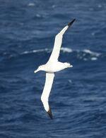Wandering Albatross flying over the South Atlantic (5656444654).jpg