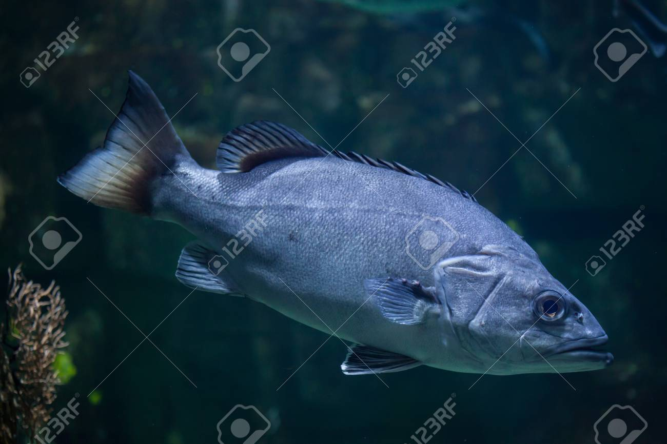 Atlantic Wreckfish