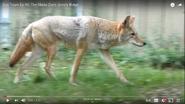 AKNZ Coyote