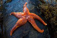 Common Starfish