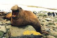 Elephant seal, southern
