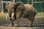Forest-elephant-bull