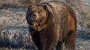 Grizzly Bear (V2)