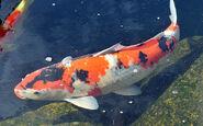 Koi-fish-dream