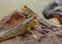Mudskippers.jpg