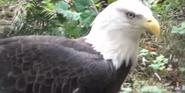 Phelidelphia Zoo Eagle