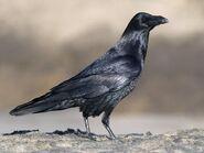 Raven, Common