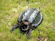 Snapping turtle.jpg