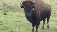 American Bison Cow