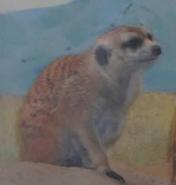 Birmingham Zoo Meerkat