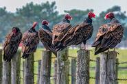 Committee of Turkey Vultures