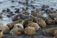 Herd or Pod of Pacific Walruses