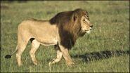 Lion, Masai (V2)