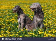 Male and Female Irish Wolfhounds