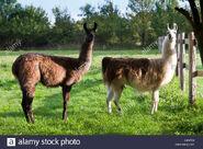 Male and Female Llamas (V2)