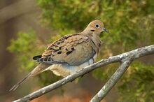 Mourning dove 8.jpg