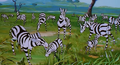 Simba the king lion zebras