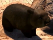 Southern-hairy-nosed-wombat-zootycoon3