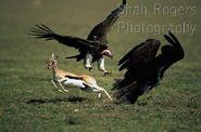 Vultures and Gazelles
