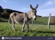 Equus africanus asinus (V2)