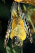 Fruit Bat, Straw-Coloured