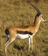 Gazelle, Thomson's