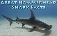 Great Hammerhead