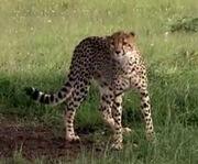 HugoSafari - Cheetah02.jpg