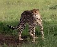 HugoSafari - Cheetah02
