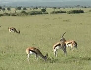 HugoSafari - Gazelle03
