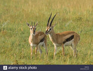 Male and Female Thomson's Gazelles