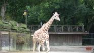 Memphis Zoo Giraffe V2